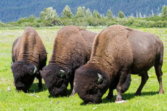 The wood bison, cousin to the plains bison, is returning to the Alaskan wilderness after over 100 years of extirpation, or local extinction.