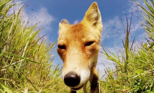 Fox Gnaws on GoPro in Round Island, Alaska