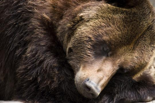 "When you hear the word ""hibernate,"" you think bears. In actuality, bears aren't true hibernators."