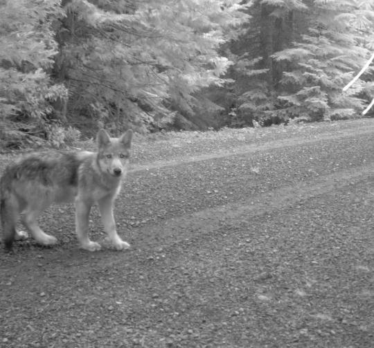 Wolf OR7 is a proud father -- again! Photo courtesy of USFWS