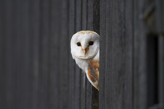 Some birds, such as the barn owl, are more susceptible to collision than other species.