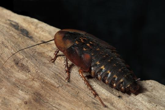 A new study suggests cockroaches have individual tendencies.