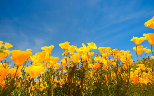 4 Reasons to love native plants -- California poppies!