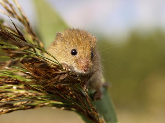 Harvest Mouse iStockphoto/CreativeNature_nl