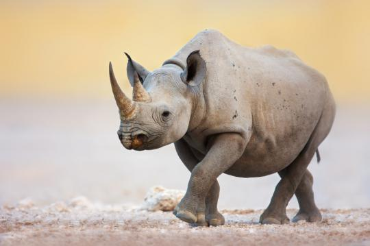 The good, the sad, and the hopeful in the world of rhino conservation.