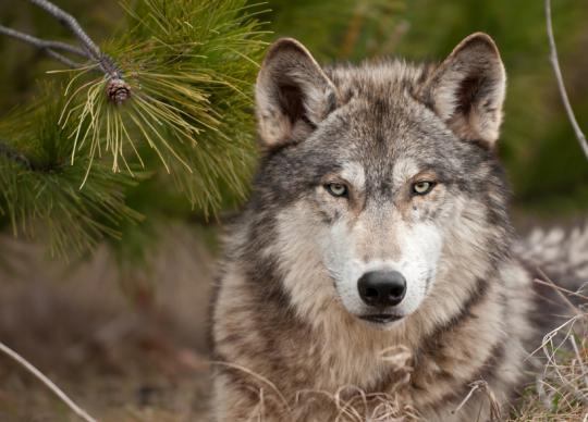The calm gaze of a grey wolf