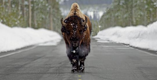 A bison ambles on a groomed road in winter in Yellowstone National Park's Lamar Valley.