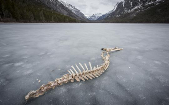 Frozen Kintla Lake, in Glacier National Park, is often littered with carcasses left by wolves.