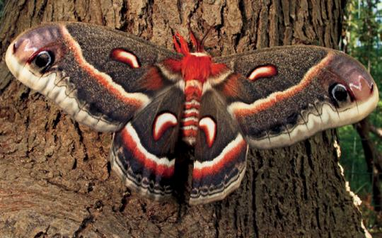 Hyalophora cecropia, the giant silk moth, is North America's largest.