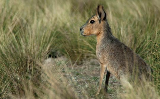 "The Patagonian mara is ""near-threatened"" in Argentina."
