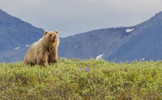 Alaska's Arctic refuge is already wild; it's time to declare it a wilderness.