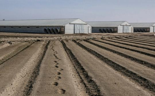 Drought victim: Abandoned tomato field in Fresno County, California.