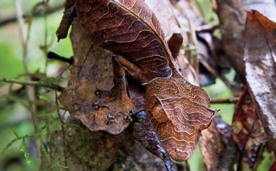 In Madagascar, the satanic leaf-tailed gecko can hide from predators but not from purveyors of exotic pets.