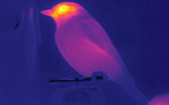 A thermal imaging of birds helps measure their stress levels.