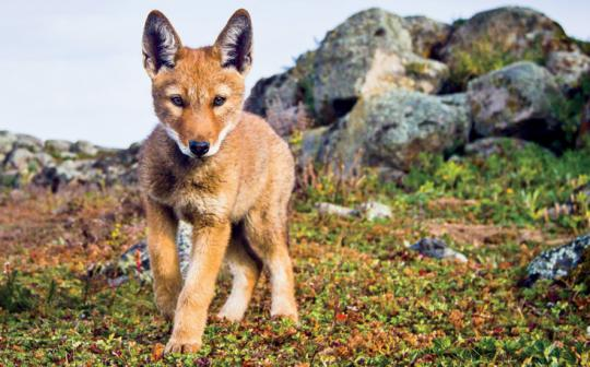 An Ethiopian wolf pup, photographed by a remote camera in Bale Mountains National Park.