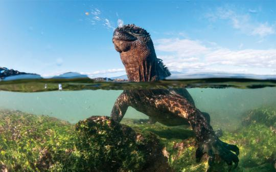 Galapagos marine iguanas sneeze to purge excess salt they ingest when feeding in the sea.