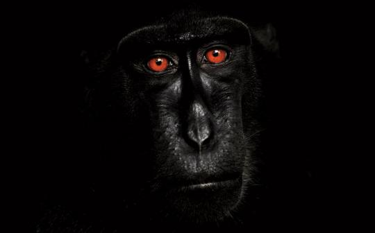 This male Celebes crested macaque (Macaca nigra) was photographed in Tangkoko National Park, Sulawesi, Indonesia.