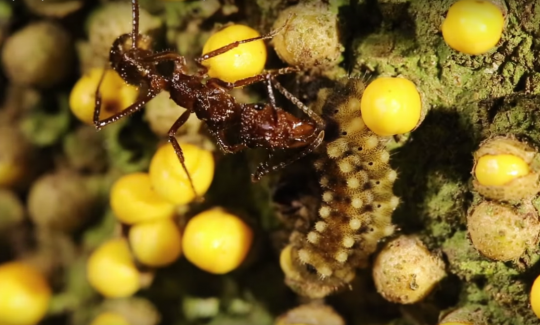 Caterpillar and ant mutualism