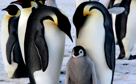 How does the emperor penguin stack up to the other dads in the animal kingdom?