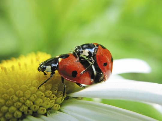 Ladybugs mating
