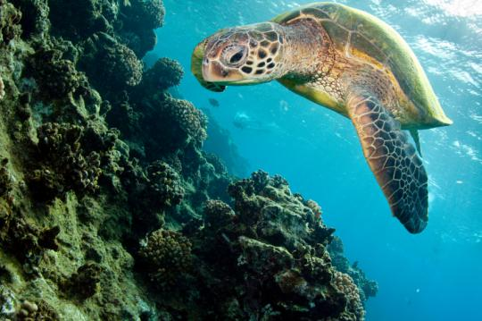 A sea turtle gives a tour of the Great Barrier Reef!