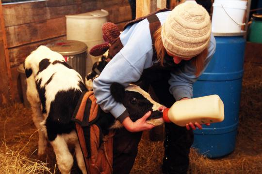 A student feeds a calf in an animal science course at Sterling College.