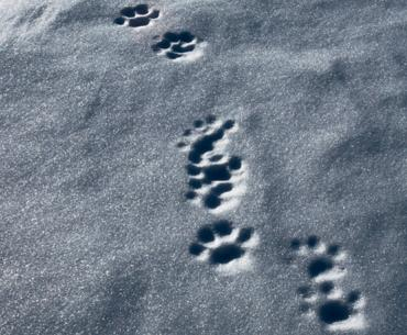 Lynx tracks in snow