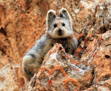 One of very few images of the camera-shy Chinese Ili pika.
