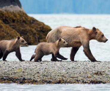 Bear watching is part of the package at the Knight Inlet Lodge in British Columbia.