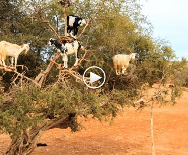 Moroccan goats engage in our favorite form of old-school environmentalist protest.