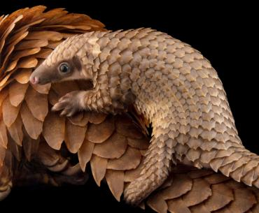 A baby white-bellied pangolin (Phataginus tricuspis) clings to her mother's back at Pangolin Conservation in St. Augustine, FL