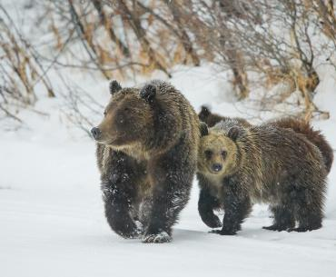 Bear 399 and her cubs