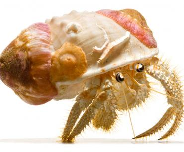 Susan Middleton, Spineless, Gold-Banded Hermit Crab