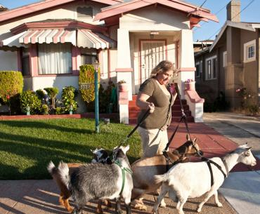 Urban farmer Kitty Sharkey often takes her four Nigerian dwarf goats for walks through her Oakland, California, neighborhood.