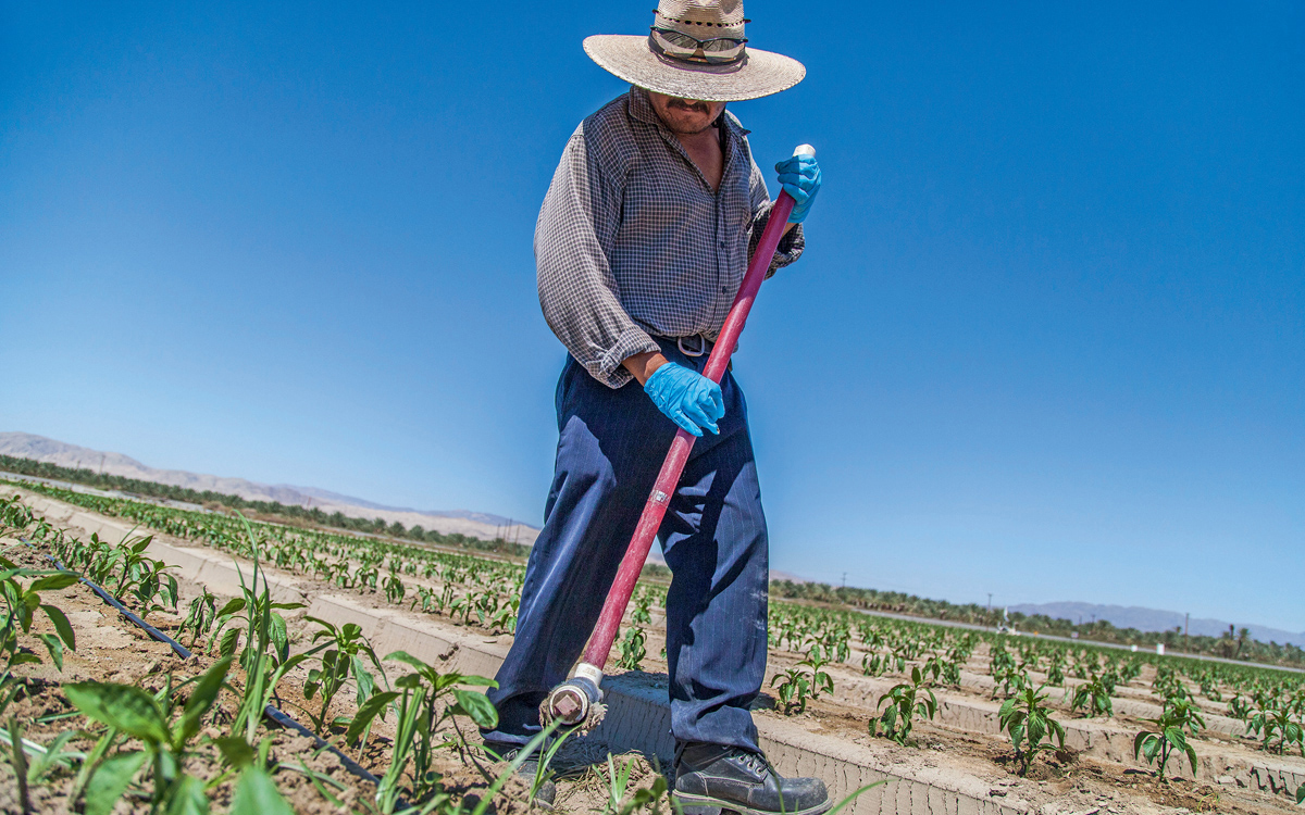 Jaime Jimenez applies herbicide to bell peppers at the edge of the sea.