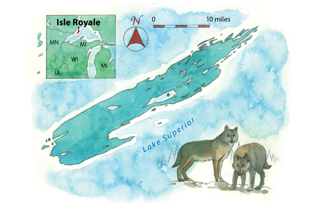 Is Bringing New Wolves To Isle Royale National Park Restocking The