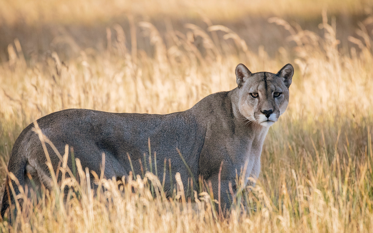 Side view of a brown-gray puma; it's looking straight at the camera.