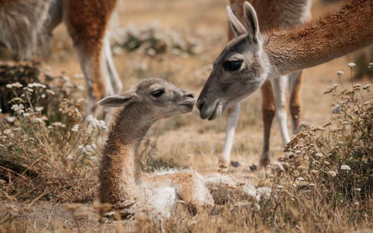 A guanaco (an alpaca-like animal) bends down to nuzzle her baby, who is lying on the ground with its nose up to the mom.