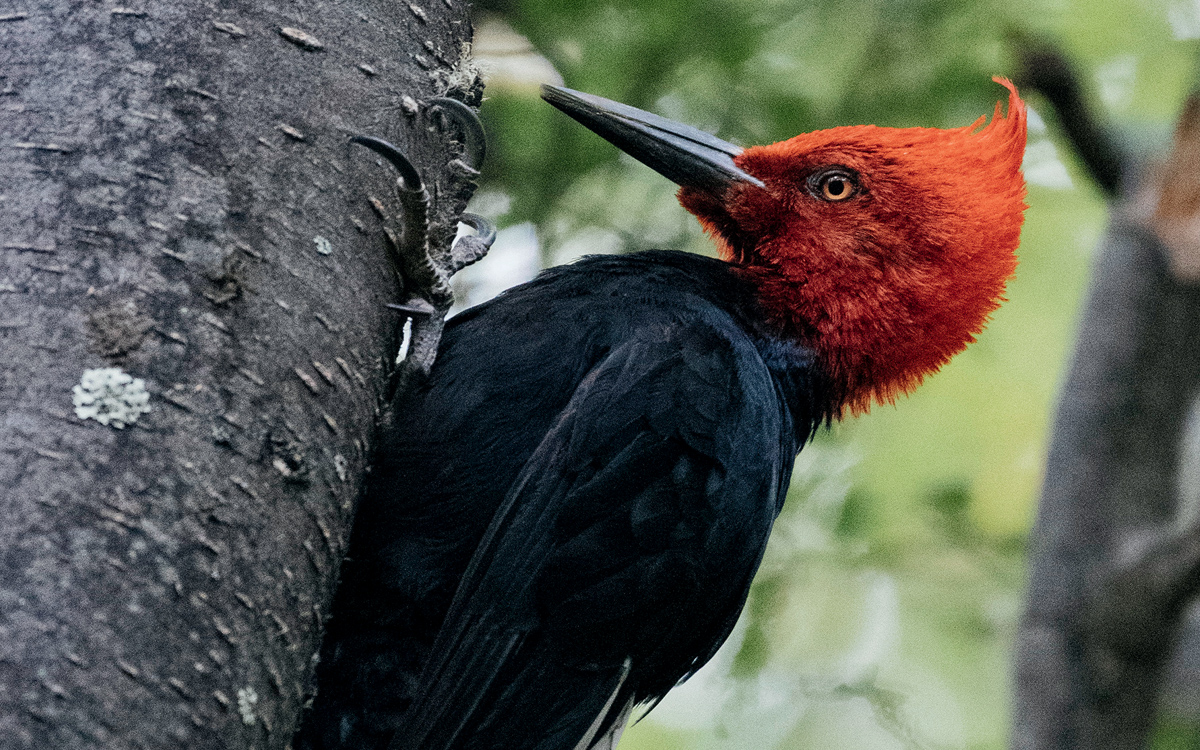 A Magellanic woodpecker, with a bright-red head and black body, hangs on to a tree with its claws.