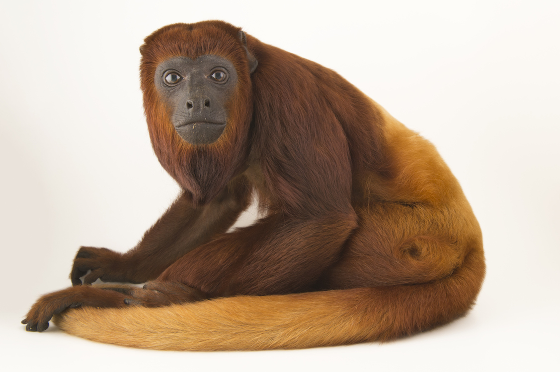 A Female Colombian Red Howler Monkey Photo By Joel Sartore