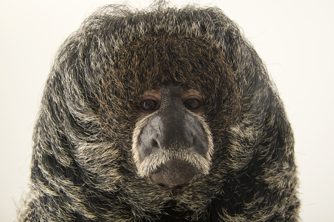 A Monk Saki At Cafam Zoo In Colombia Photo By Joel Sartore
