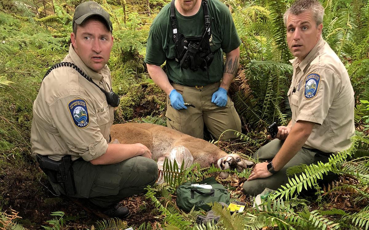 傷害單車客的美洲獅最後被擊斃。圖片來源:Sierra Club讀者投稿