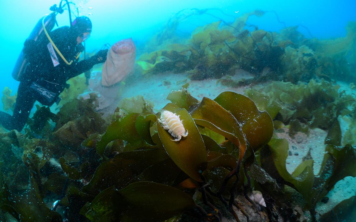 Søt, hvit krepsdyrlignende skapning som ligger i en tangfond i turkis vann, med en dykker i bakgrunnen.