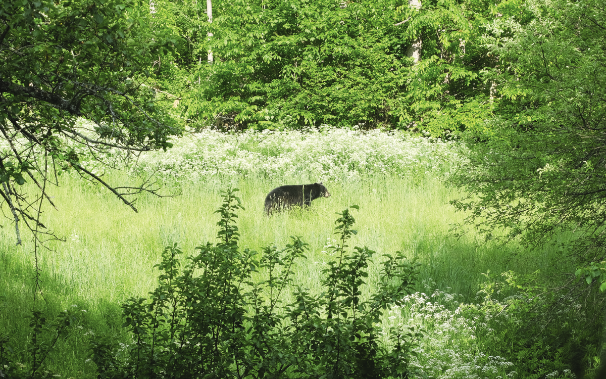 A black bear stands in a meadow surrounded by trees.