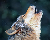 A howling wolf