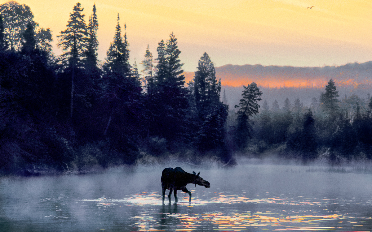 Moose arrived on Isle Royale only in the past century after swimming from Canada A likely landing point was the islands northeast tip 15 miles away