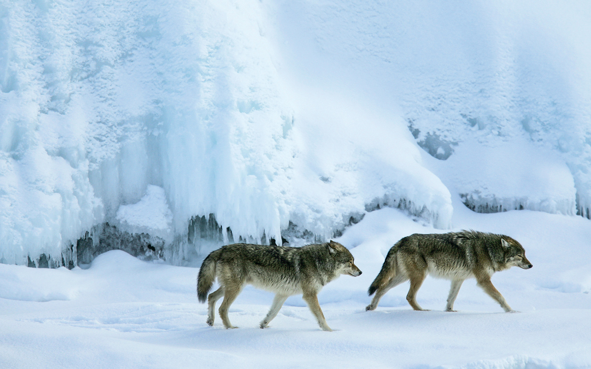 A wolf pair at Rock Harbor in 2009